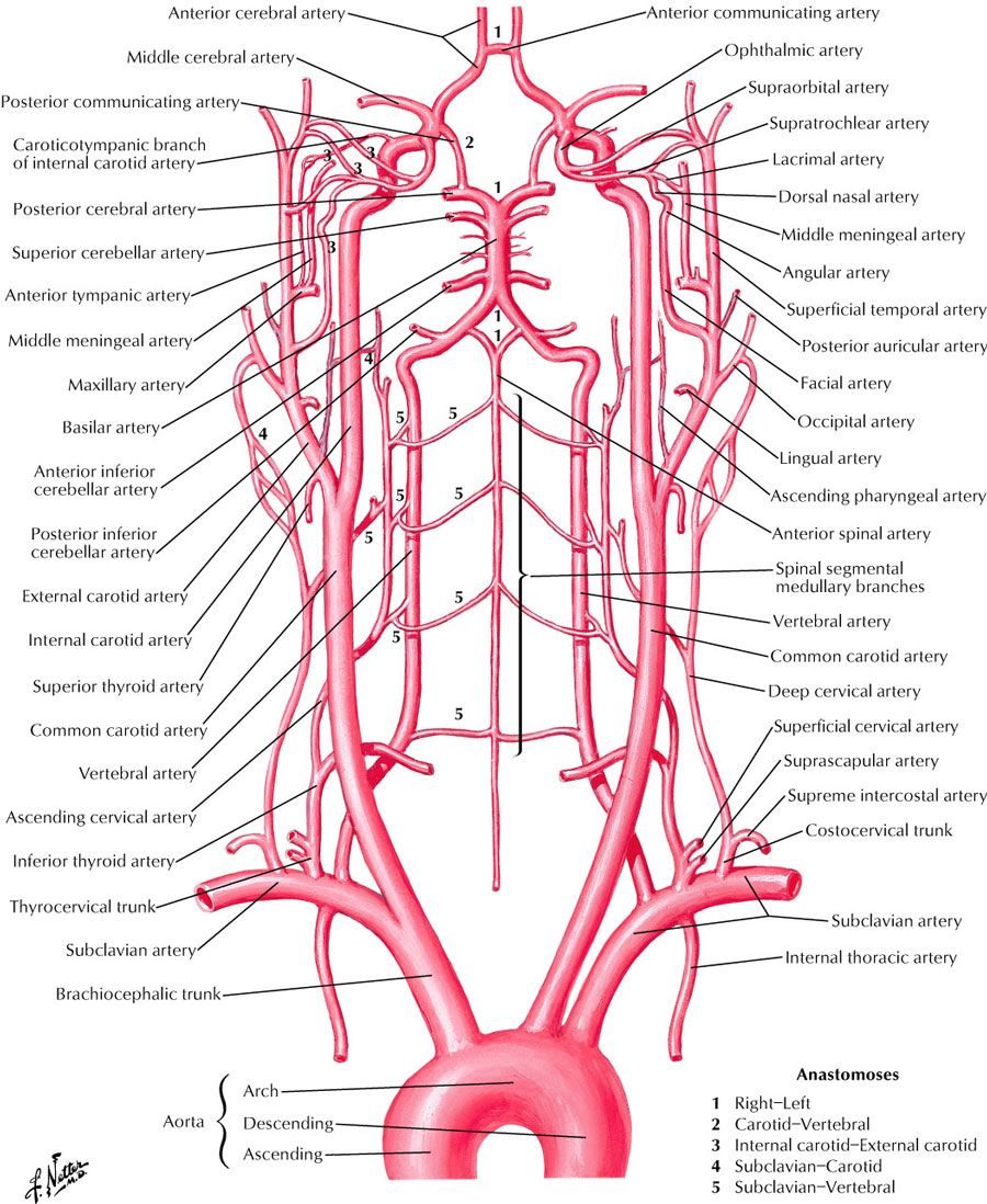 hight resolution of neck and carotid arteries