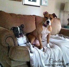 """Carolina  Carolina (on right) is a super sweet, 8 month old pit bull mix who enjoys breakfast burritos, car rides, and snuggling on the couch. She gets along great with other dogs, is friendly with cats and wants nothing more than to be loved. She would make a wonderful addition to any family! Click """"go to link"""" to submit an adoption application for Carolina!    Hope Animal Rescue Durham, NC"""