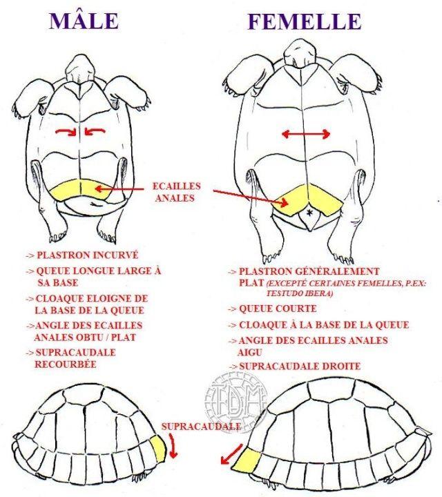 Diff rence entre m le et femelle tortues pinterest - Difference entre pin et sapin ...