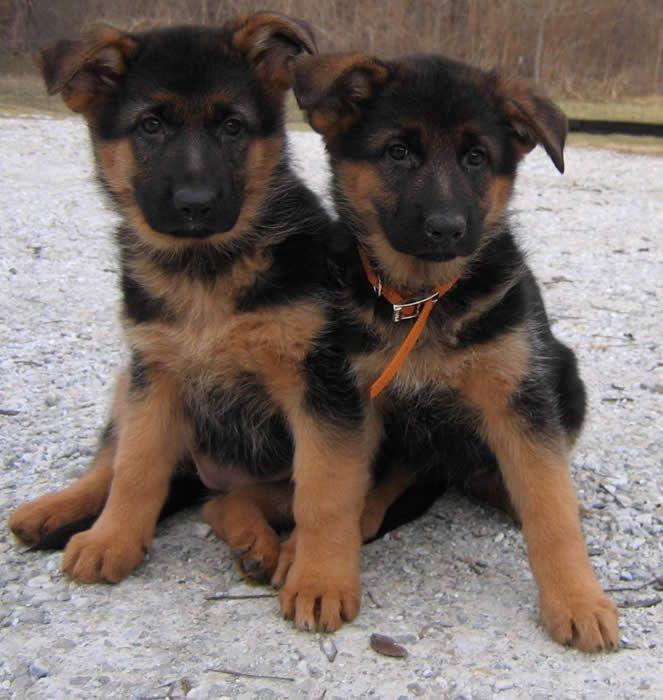 Red and black german shepherd dog - photo#33