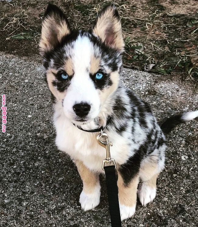 Aria the Ausky. Husky and Australian cattle dog mix