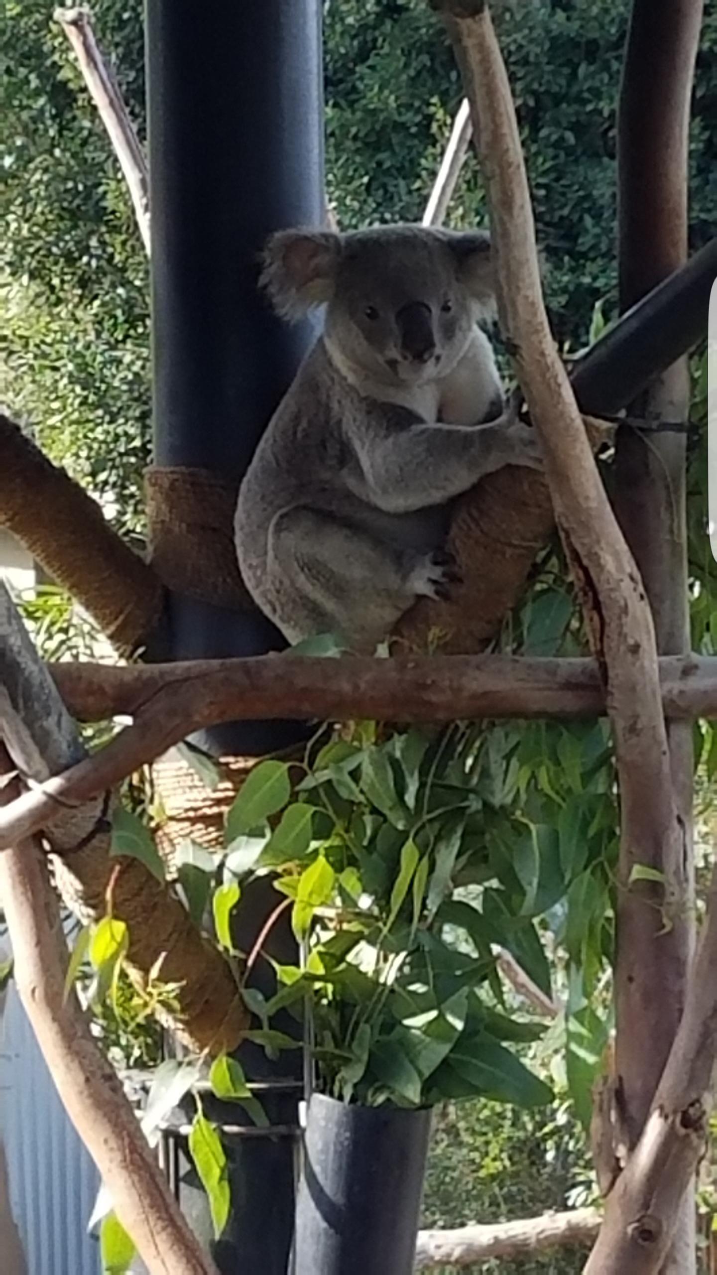 Koala bear at the san diego zoo httpifttt2jtqcch