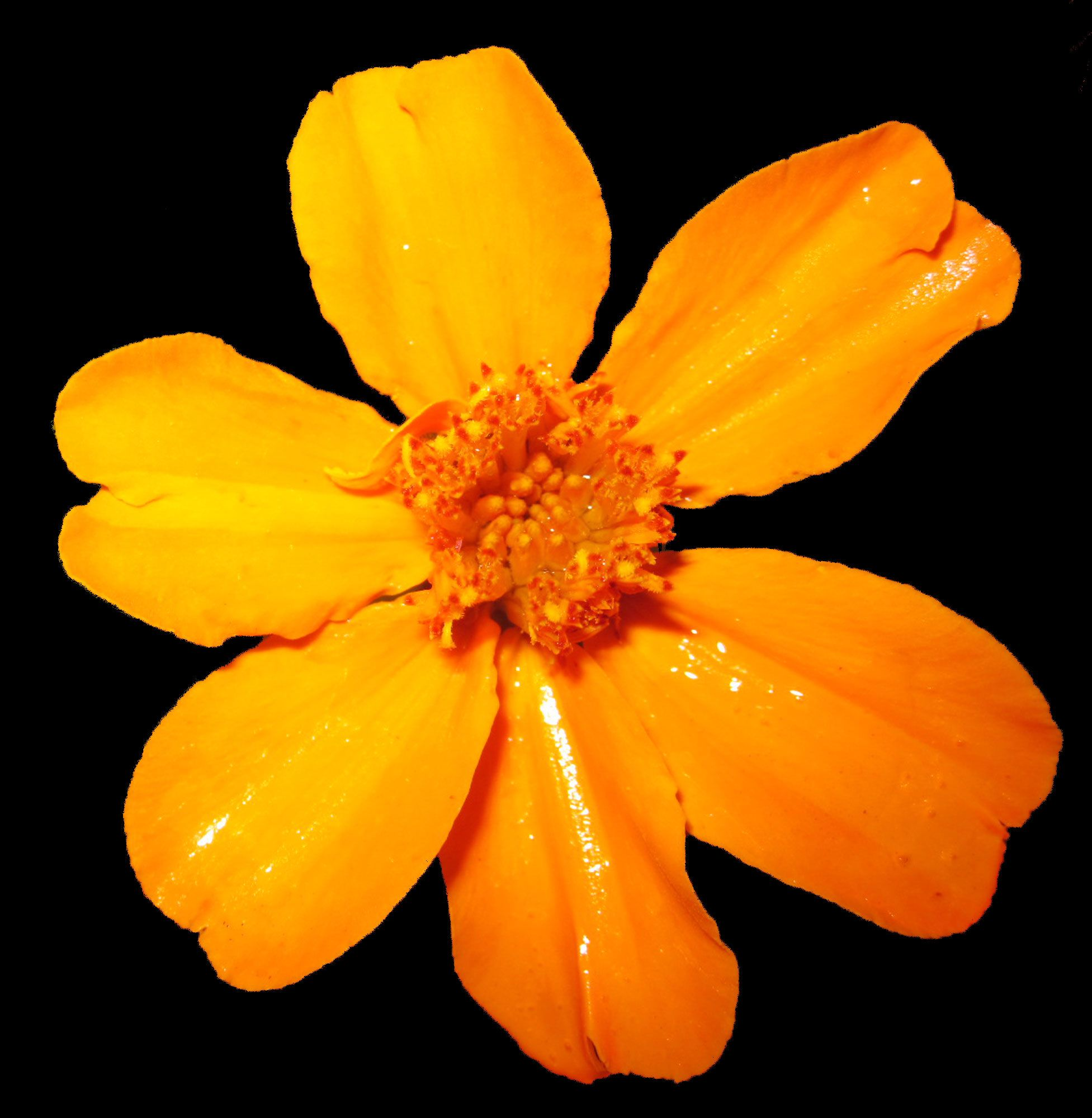 The bold, orange/yellow hue of this flower makes a bold statement against a dark black background! The water droplets from being freshly watered can be seen, along with all of the natural detail of this amazing flower. This original photograph was taken by Brittany Valente for Dream By Day Creations.  http://www.dreambydaycreations.com