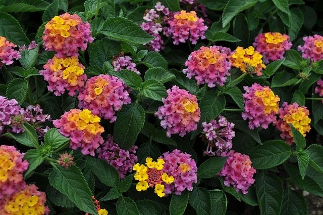 Lantana Grows In A Mound With Little Bouquets Of Multi Colored Florets All Over Them Annual Flowers Lantana Ornamental Plants
