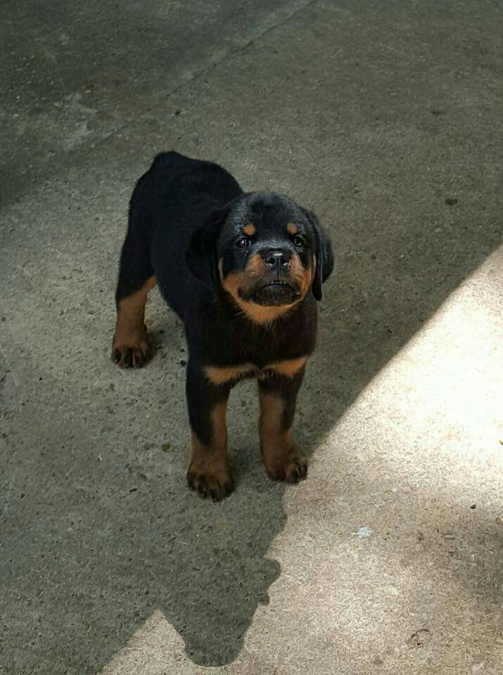 Raven thinks she is tough....Hartenkern Rottweilers.