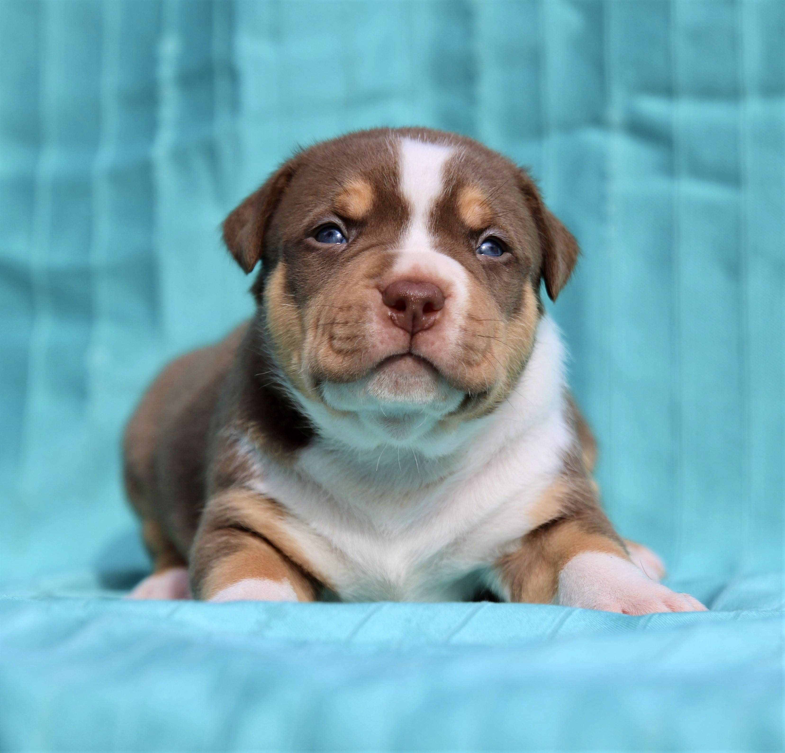 Xl american bully puppies for sale georgia