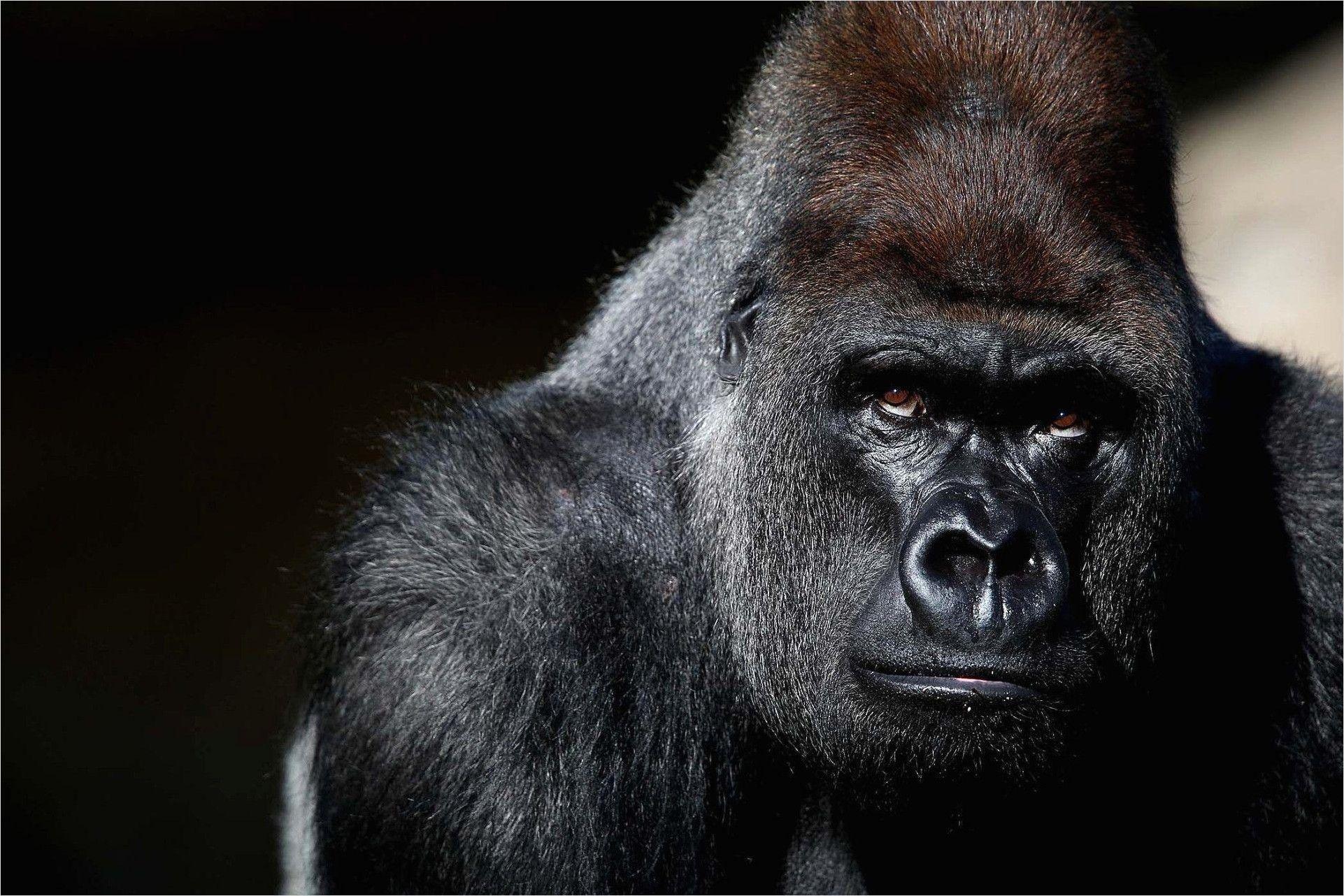 4k Osrs Demonic Gorilla Wallpapers In 2020 Gorilla Wallpaper Gorilla Free Pictures