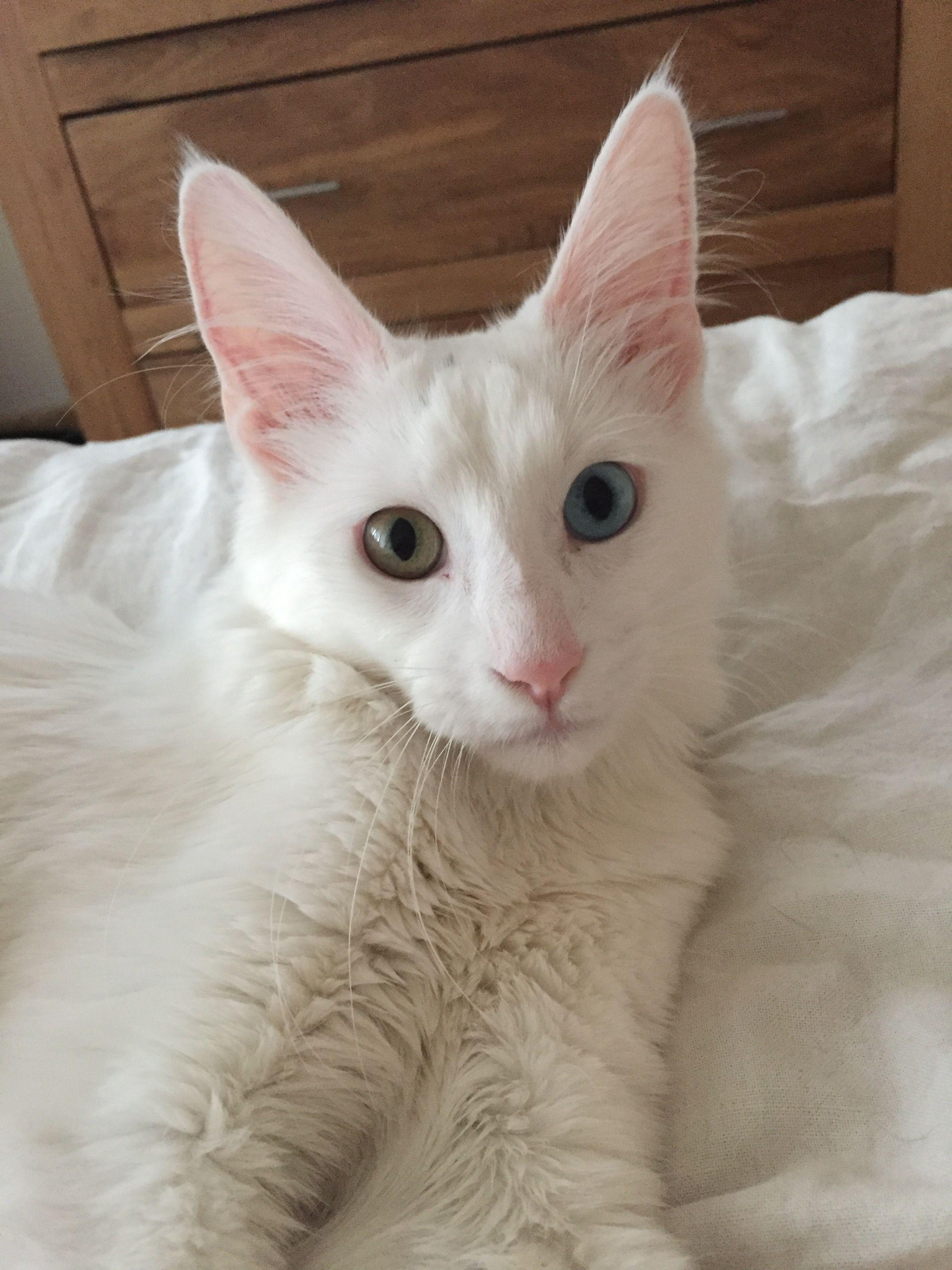 Mon Angora Turc De 6 Mois I Have A Thing For White Cats