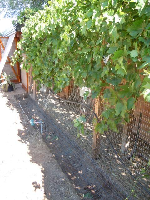 vine coverage over chicken run