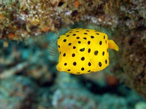 Yellow Boxfish Cute Little Swimming Cubes Sea Fish Weird Animals Yellow Animals