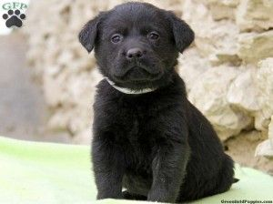 Black Lab Puppies For Sale In Ct Cute Baby Animals Pinterest