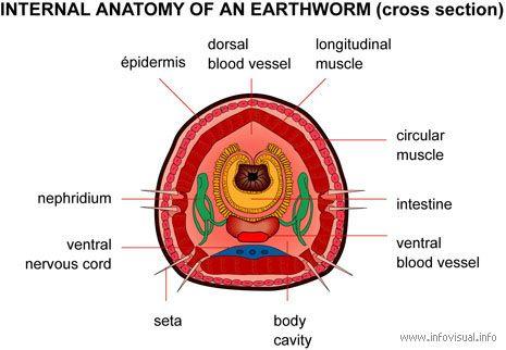 007 Internal anatomy earthworm cross.jpg (465×322)   ไส้เดือน ...