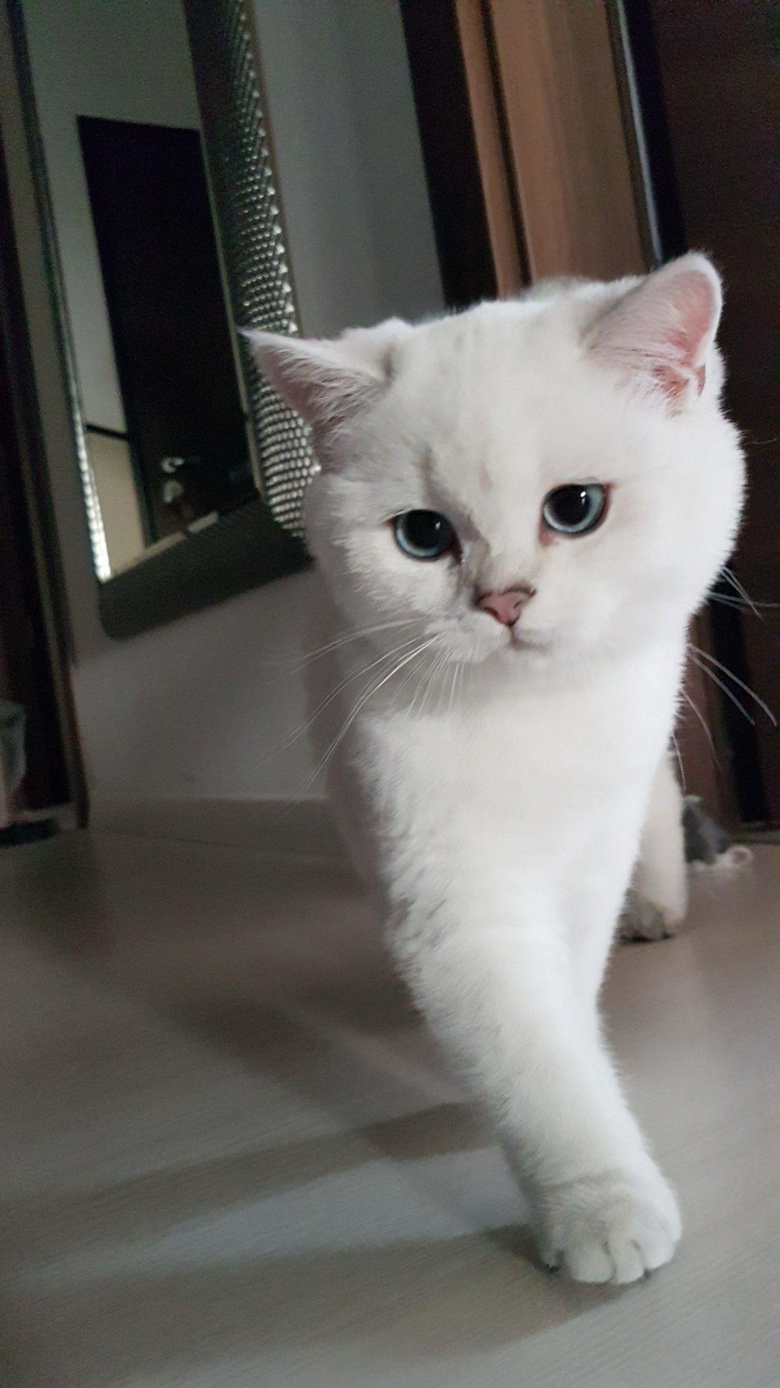 Catwalk Pretty Cats British Shorthair Cats British Shorthair