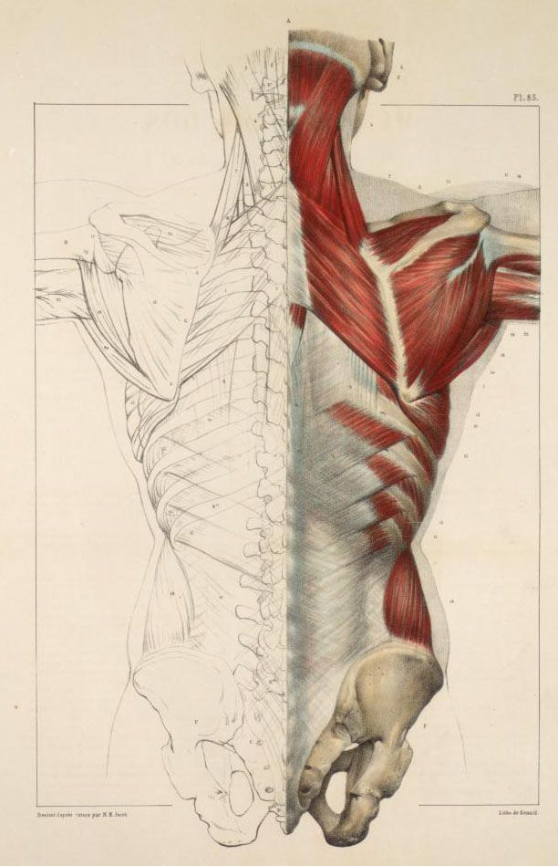 Muslces of the back #anatomy #medical #medicine #illustration ...