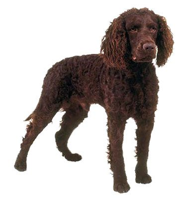 Boykin Spaniel Dog Information American Water Spaniel Dog Breed Selector Dog Breeds