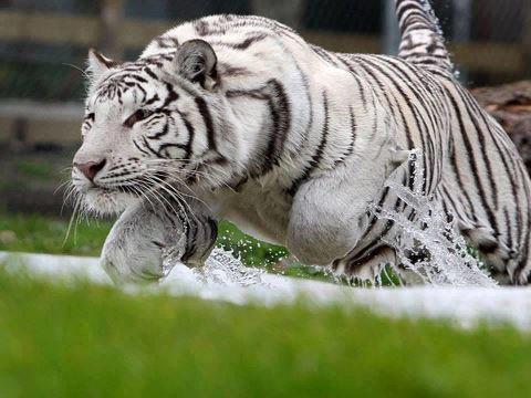 White Tiger Running Bengal Tiger Facts White Bengal Tiger Bengal Tiger Habitat