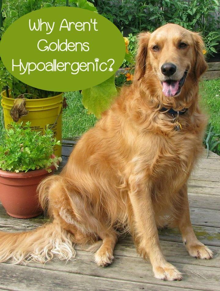 Hypoallergenic Golden Retriever Not So Much Purebred Dogs
