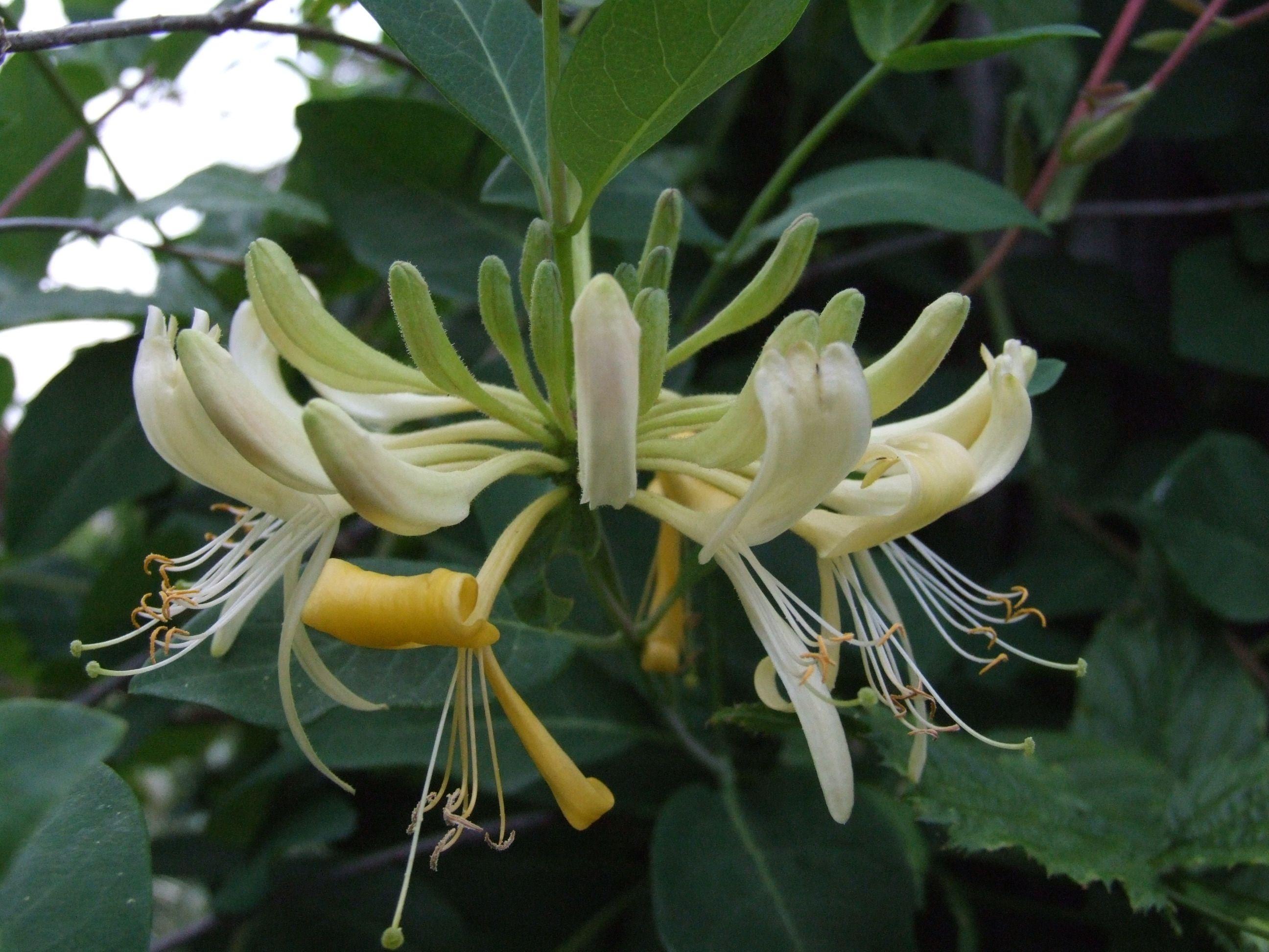 Lonicera (Caprifoliaceae) Hanımeli (With images