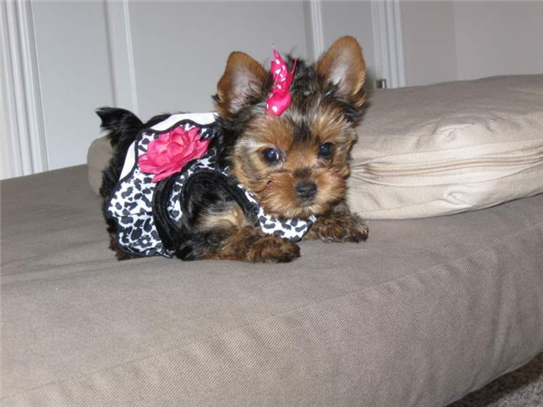 Pictures Of Shorkies With Long Tails Teacup Yorkie Puppies For