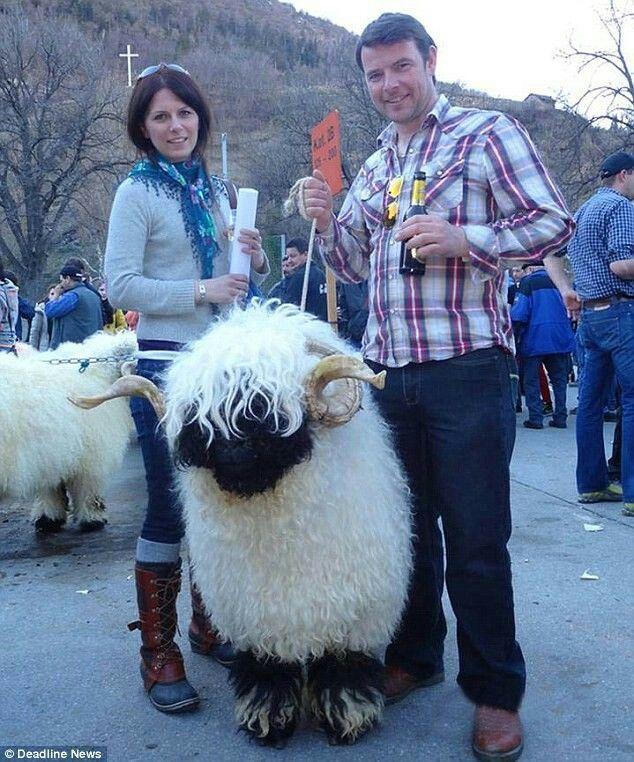 Valais Blacknose breed sheep Sheep breeds, Cute sheep