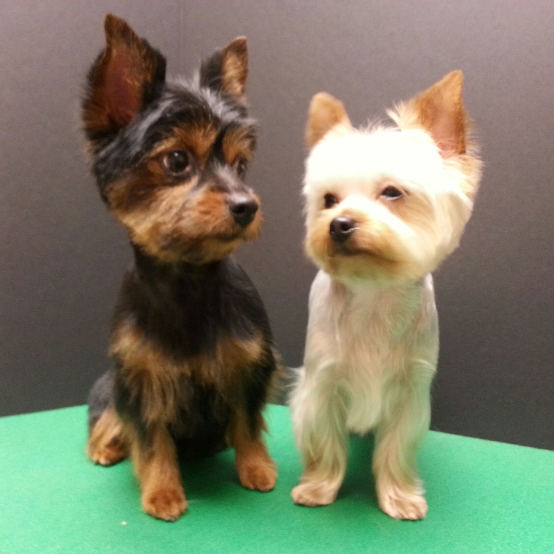 Pin By Stephanie On Doggy Animal Stuff Yorkshire Terrier Dog Yorkie Terrier Yorkshire Terrier Puppies
