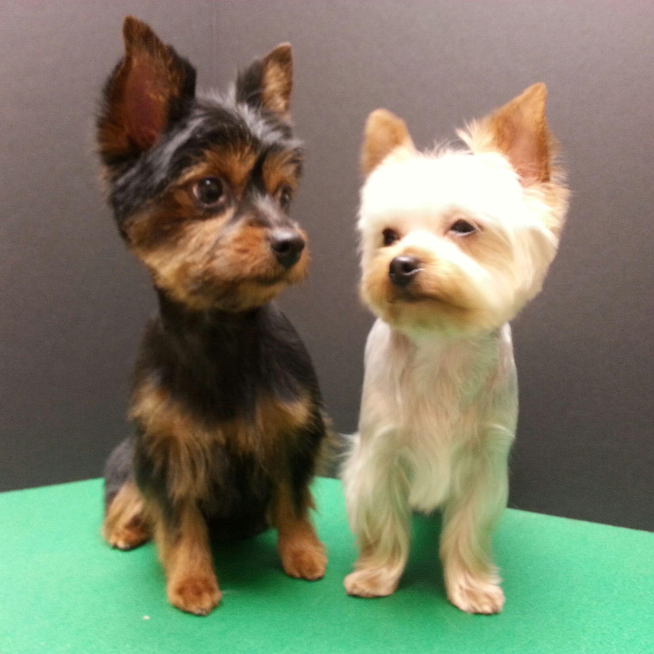 scruffy dog haircut, yorkie pom trim, yorkshire terrier pomeranian