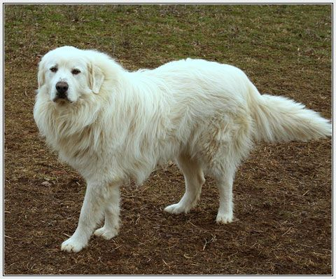 Have A Great White Pyrenees Again Every Time It Snows I Think Of