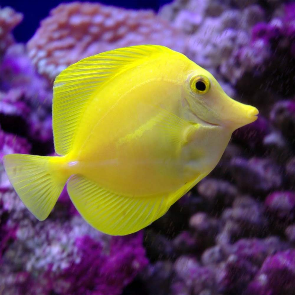 Yellow Tang For Sale Online Captive Bred Yellow Tangs For Sale Near Me Salt Water Fish Tang Fish Cute Fish