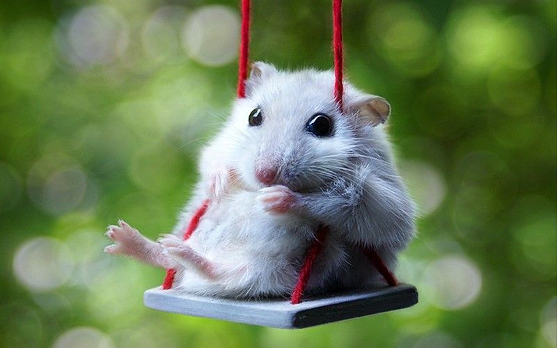 Image Result For Wallpaper For Laptop Windows 10 Cute Animals Funny Hamsters Cute Baby Animals