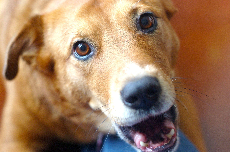 Why Do Dogs Growl Dog Growling Italian Dogs Dogs