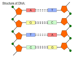 Simple dna molecule diagram introduction to electrical wiring image result for dna structure diagram dna pinterest diagram rh pinterest com a dna molecule consists of dna molecule labeled diagram ccuart Choice Image