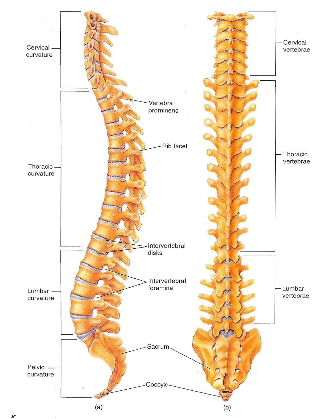 vertebrae pictures diagrams vertebrae pictures diagrams photos vertebral column diagram labeled anatomy and physiology [ 1152 x 1466 Pixel ]