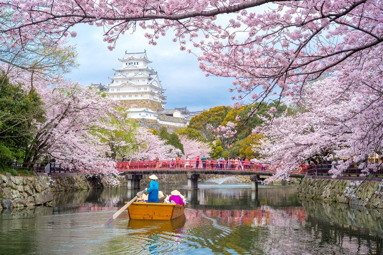 Extreme Weather Has Tricked Japan S Cherry Blossom Trees Into Blooming Early Lonely Planet Cherry Blossom Japan Japan Cherry Blossom Season Himeji Castle