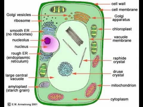 Plant Cells Vs Animal Cells Youtube Science Pinterest Plant