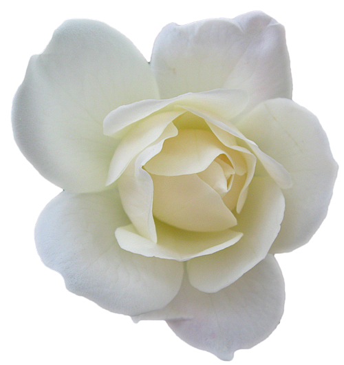 white rose Email This BlogThis! Share to Twitter Share