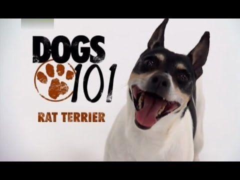 Dogs 101 Rat Terrier Eng Rat Terriers Rat Terrier Dogs Terrier