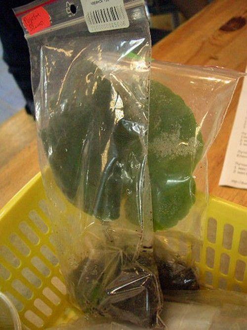 о проращивании листового черенка в пакете