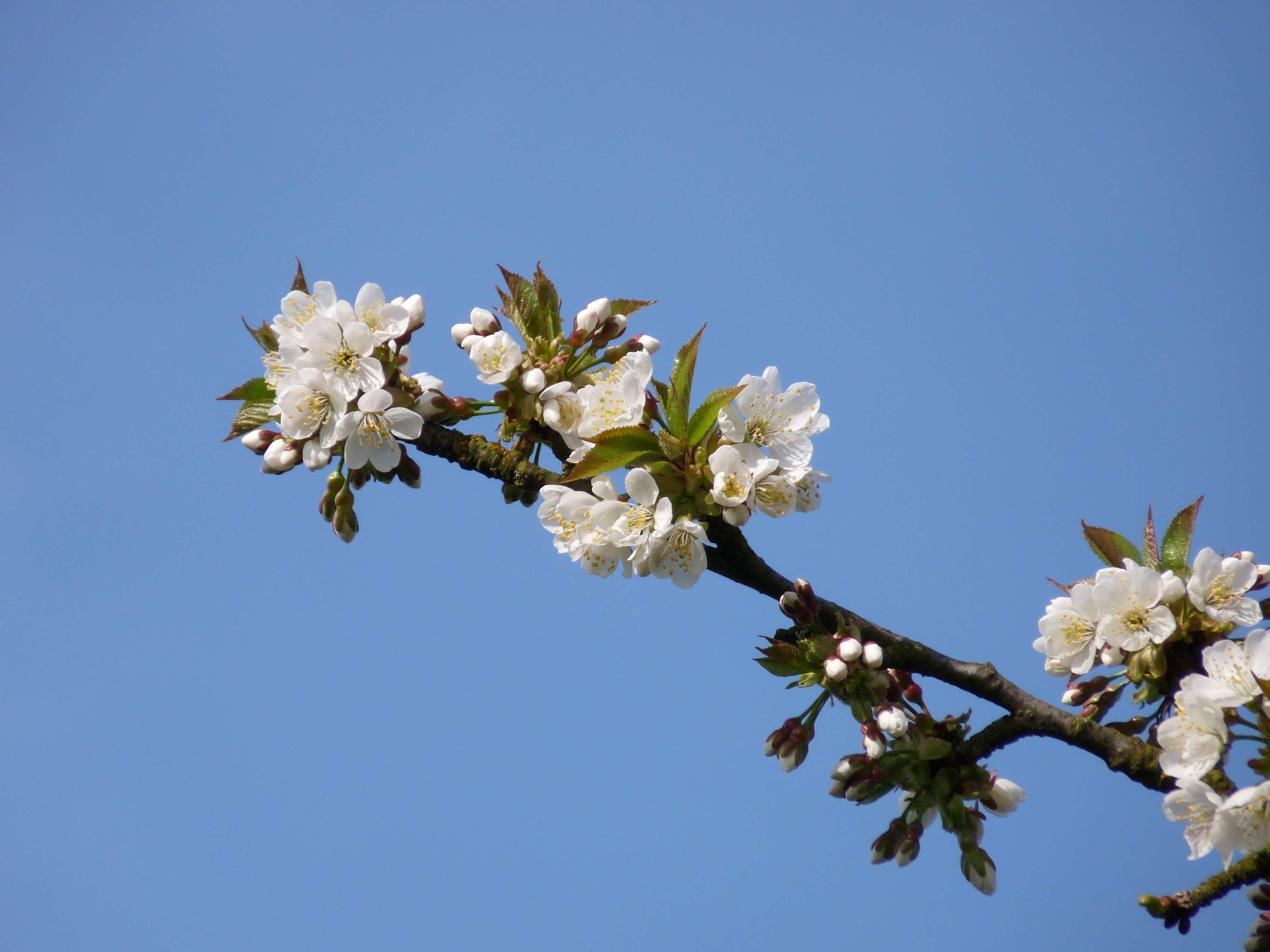 Bloom Blossom Branch Cherry Cherry Blossom Frhlingsanfang Fruit Tree Nature Pink Sky Spring Spring Flower Tree White White Flower Bloemen