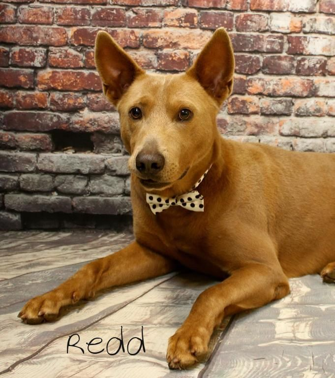 Australian Kelpie Dog For Adoption In Hot Springs Village Ar Adn