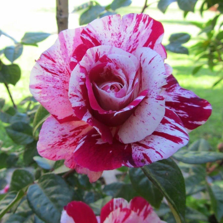 spiridoula rentzi   Beautiful rose flowers, Pretty flowers ...