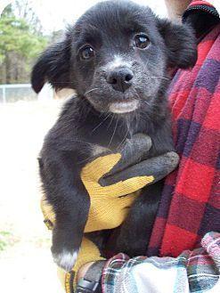 Dawn Pittsburgh Pa Chihuahua Mix Meet Dawn A Puppy For