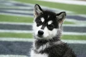 A Handsome Husky Pup Most Beautiful Dogs Siberian Husky