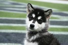 A Handsome Husky Pup Most Beautiful Dogs Siberian Husky