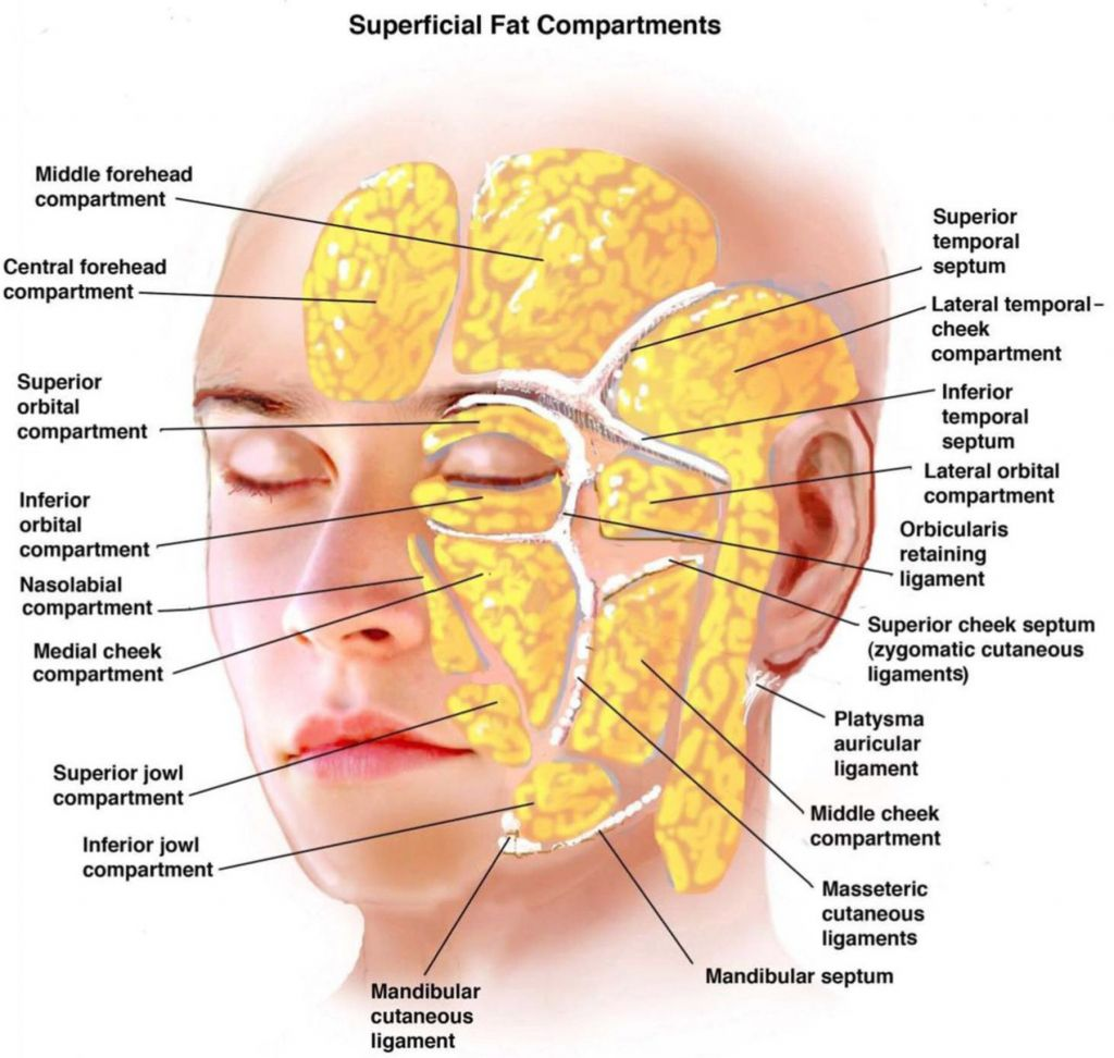 Anatomy Of The Face Skin 1000 Images About Facial Anatomy On ...