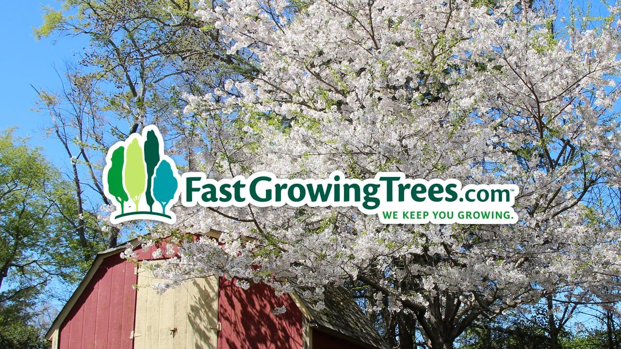 Fastgrowingtrees Com About Us Flowering Cherry Tree Weeping Cherry Tree Pink Flowering Trees