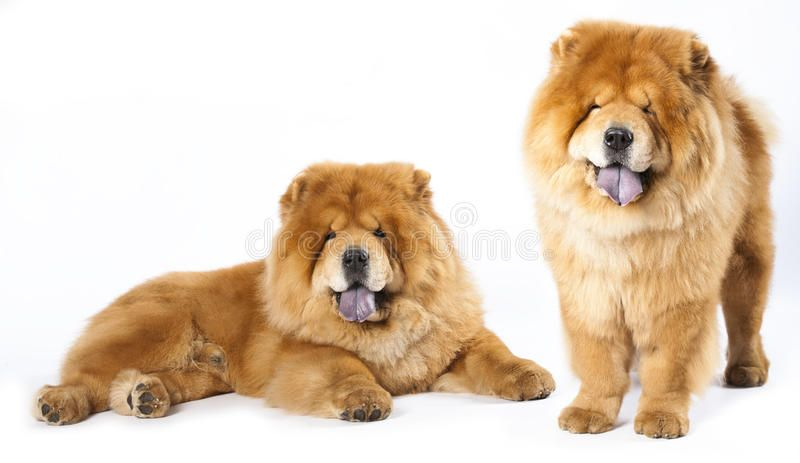 Chow Chow In Front Ofa White Background Affiliate Front