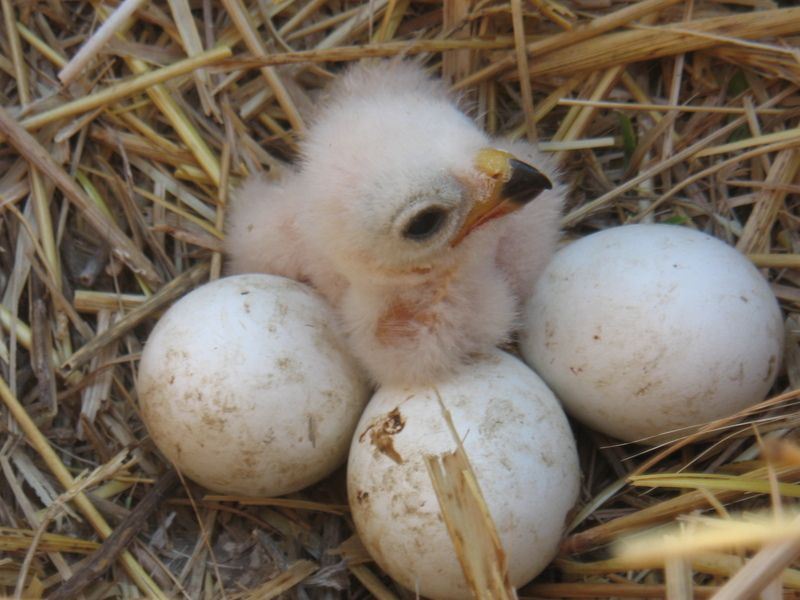 Campaña de aguiluchos: apadrina un nido de aguiluchos  Todos los años debemos rescatar gran cantidad de pollos de aguilucho cenizo y lagunero al llegar la época de la cosecha y no haberse terminado de desarrollar en sus nidos. Apadrina un nido de aguiluchos y ven a liberar los pollos de ese nido con nosotros al hacking. http://buscopadrino.grefa.org/producto/campana-de-aguiluchos-apadrina-un-nido-de-aguiluchos/