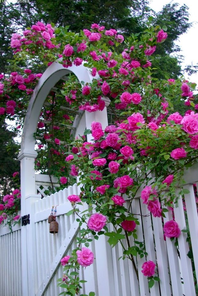 Love Garden Roses: Zephirine Drouhin, An Old-fashioned Climbing Rose With A