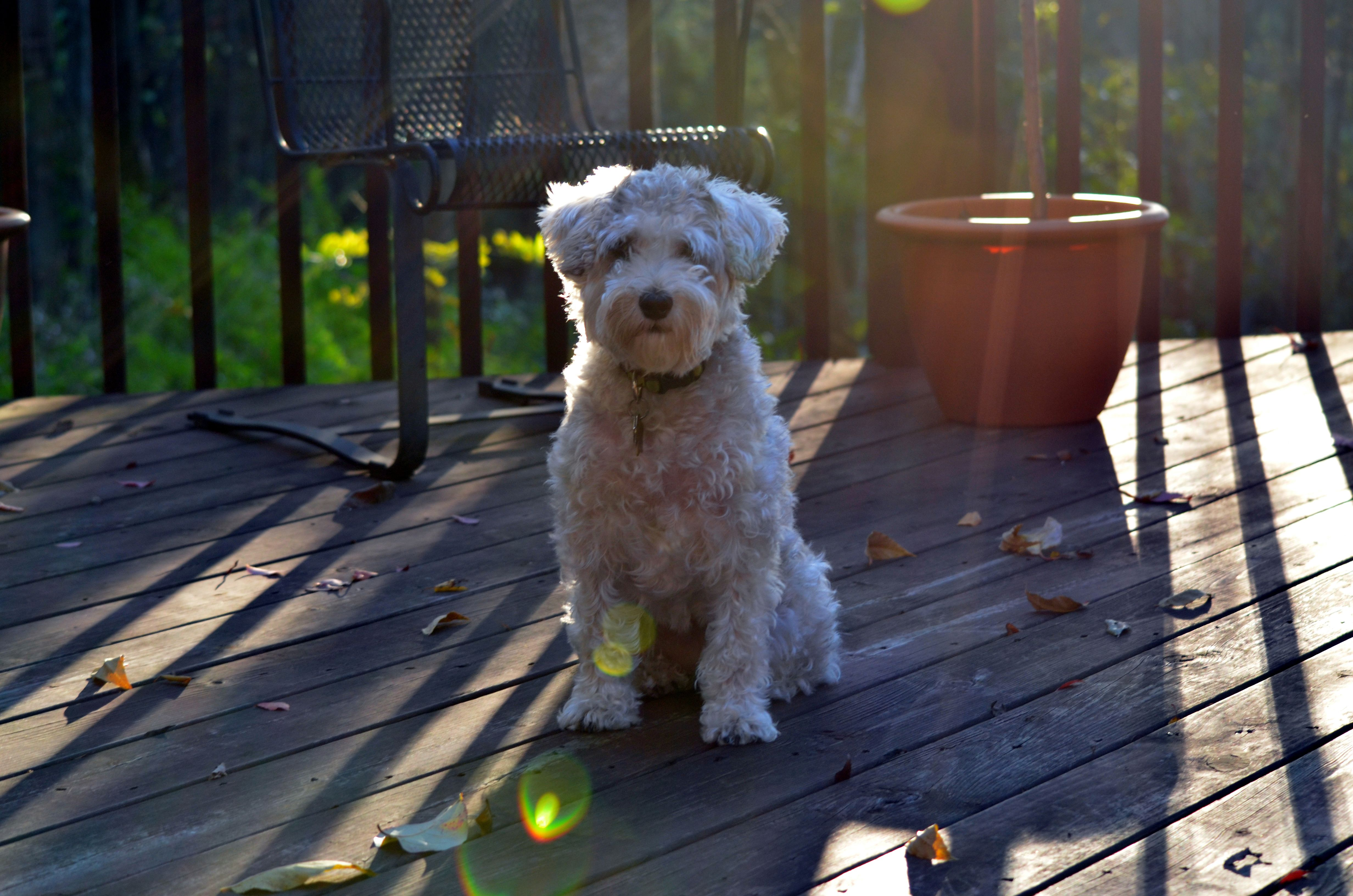 Cinni Schnoodle Schnoodle Pets Dogs