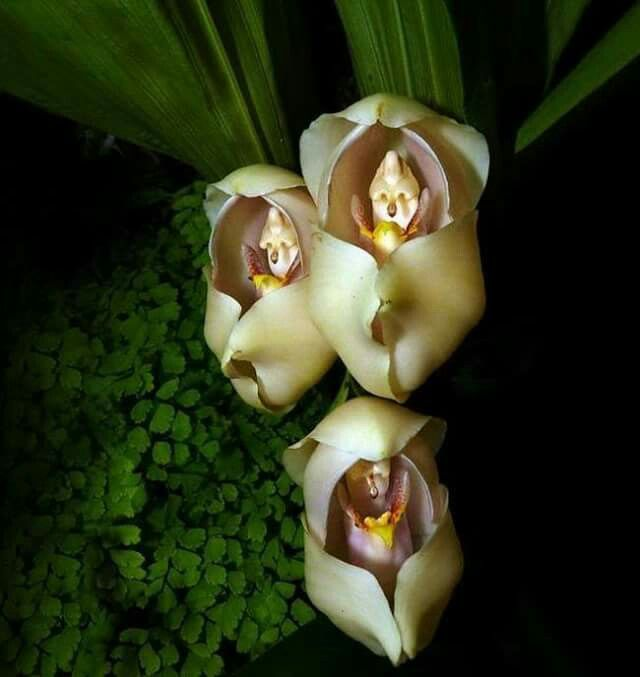 A Rare Flower That Looks Like A Baby In A Cradle Strange Flowers Amazing Flowers Unusual Flowers
